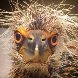 baby-night-heron-by-sharon-zeigler-july-2014